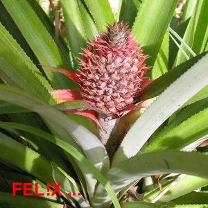 e25a1-ananasbluete