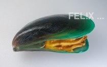 fc47d-gruenlippmuschel_gekocht