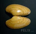 f015b-teppichmuschel