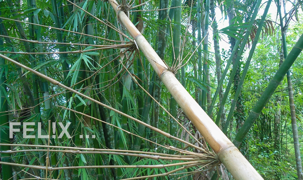 1_Bambus