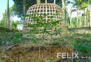 CurryLeafPflanzen