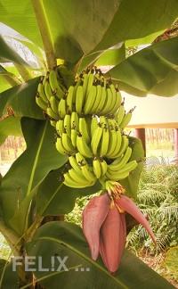Bananen_mit_Bluete