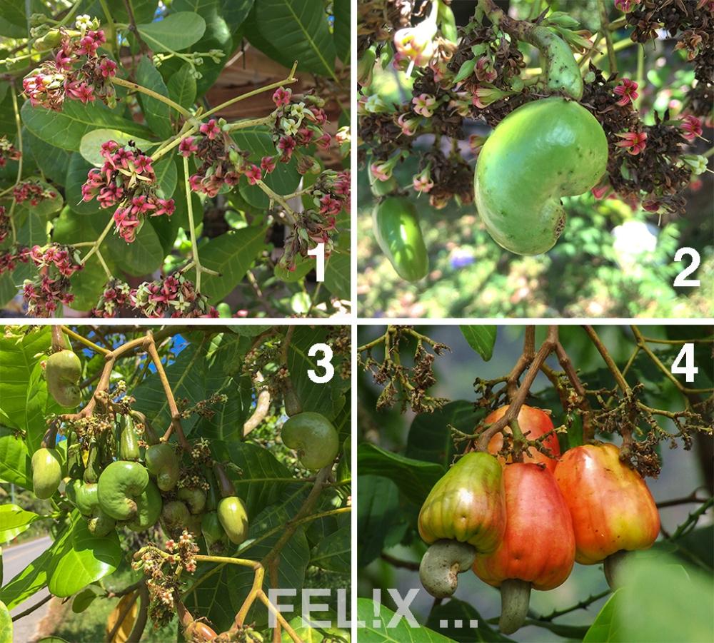 Cashew_Blueten_Frucht_4