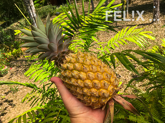 Ananas_Hand