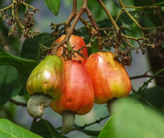 Cashew_4_ganze_Frucht